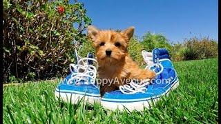 Pandora The Super Cute Golden Yorkshire Terrier Female Puppy Available Near Escondido, Ca