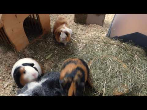 Wheek-ly Vlog 59: A Morning with 7 Guinea Pigs
