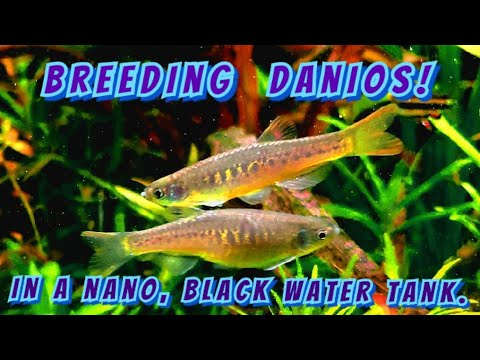 How To Breed Danios ( The Rare Maetangensis Or Fire Bar Danio) In A Nano 5 Gallon Black Water Tank!