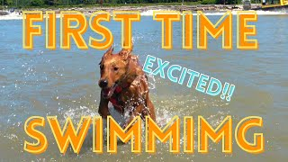 Red Golden Retriever  EXCITED!!! 6 month old Golden Puppy First Time Swimming