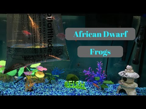 GETTING AFRICAN DWARF FROGS