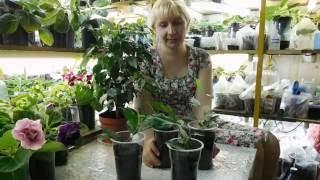 Фикус Бенджамина, выращивание , размножение черенками и результат.