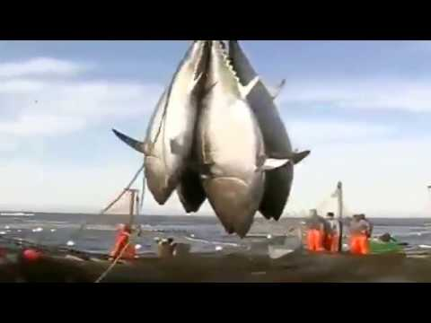 BLUEFIN TUNA FISHING NETS (BIG CATCH)