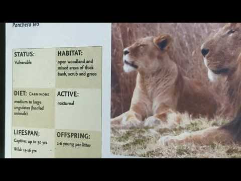 Baltimore Zoo - African Lions