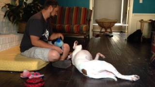 Lovable White Boxer Available For Adoption In Nc!