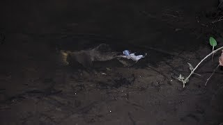 Snapping turtle eats a frog in the dark.