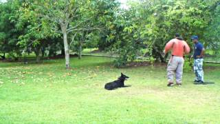 Dog Training Miami Dade - K9 Enforcement -ruckus