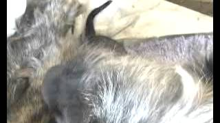 Puppies Being Born To Hemahema The Irish Wolfhound
