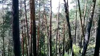 Реликтовый сосновый бор на крутом косогоре. На самом деле глушь.   Relict pine forest .