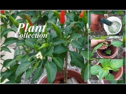 Hydroponic Farming Systems - Chili Pepper Growing - Plant Collection