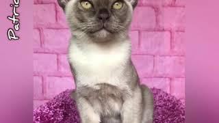 Шоколадный бурманский котёнок Patrick. Питомник бурманских кошек Freya Way