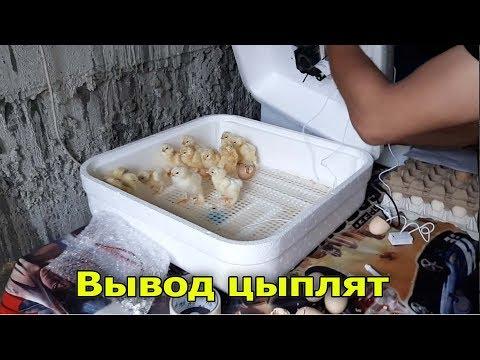 Вывод светлой Брамы // Результаты Инкубатора Птичий Двор А64