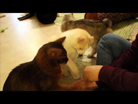 American curl Ragnar's 3 newest tricks