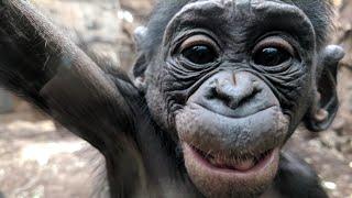 True Bonobo Love | 🐒 | ❤️ | Monkeys | The Power Of Love