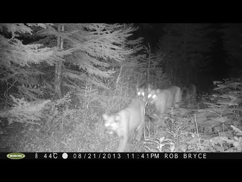 Trail Camera Footage Prince George, BC