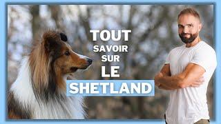 Chien de race Berger des Shetland : caractère, dressage, comportement, santé de ce chien de race...