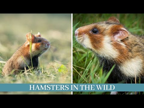Hamsters in the wild    hamsters living in the wild    20 hamsters in the wild facts