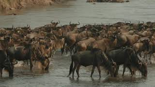 Masai Mara Kenya Wildebeest Migration The Greatest Spectacle On Earth