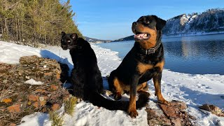 Spring is coming. Walking with leopard & rottweiler