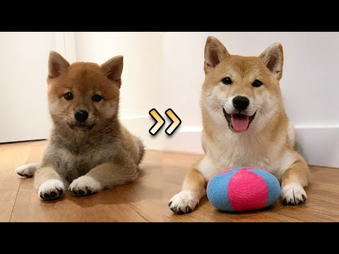 (ENG Sub) Baby Shiba Inu Growing Up! From 8 Weeks to 5 Months