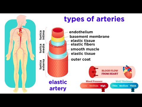 The Circulatory System Part 2: Blood Vessels
