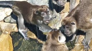 Macaque Attack: Monkey vs. Monkey | Wild Singapore | BBC America