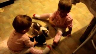 Чихуа-хуа, купить щенка, продажа собак, мини.