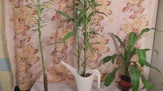видео как ухаживать за бамбуком в домашних условиях