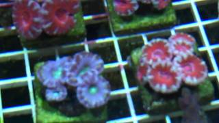 Coral Frags for sale
