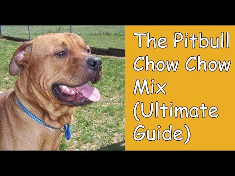 The Pitbull Chow Chow Mix: PitChow (Ultimate Guide)