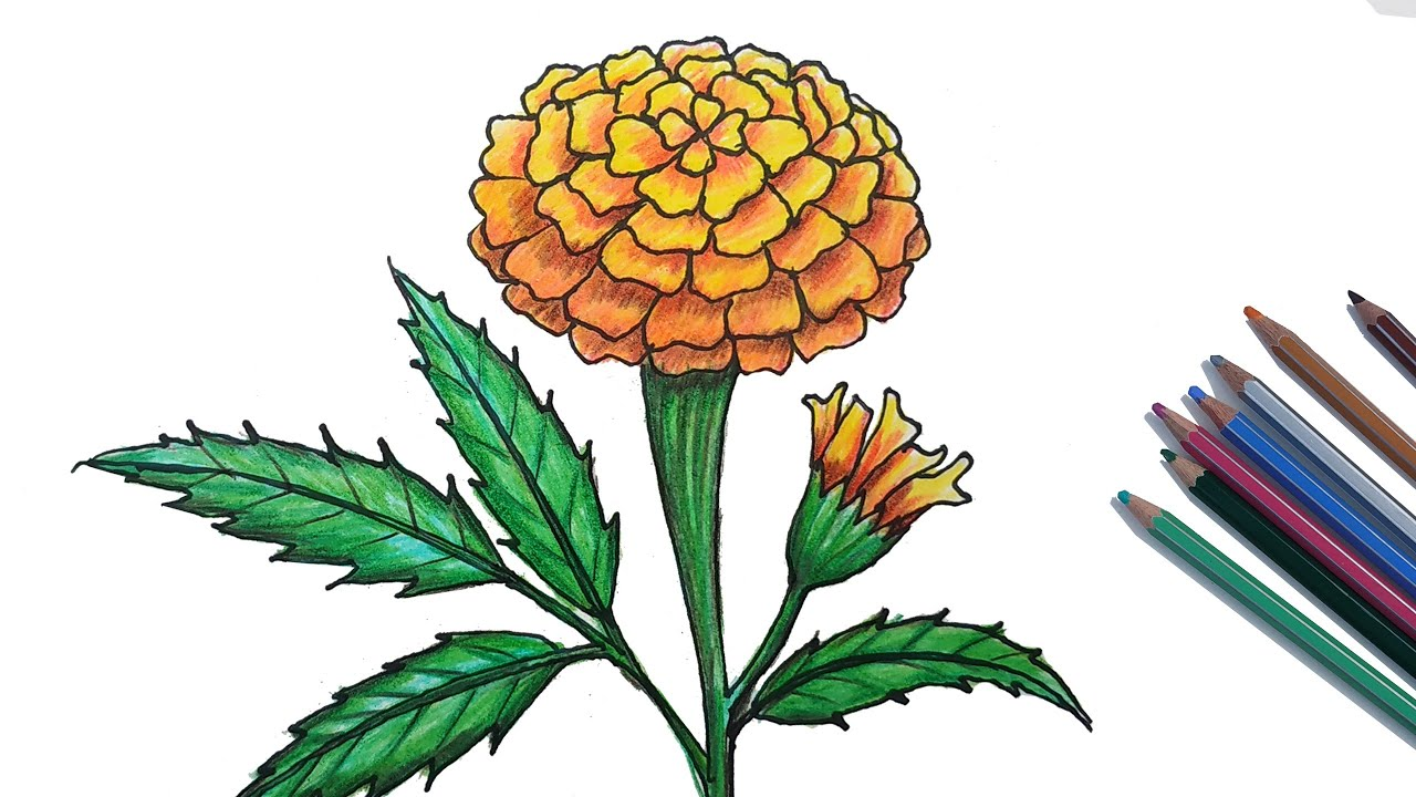 How to Draw Marigold Step by Step (Very Easy)