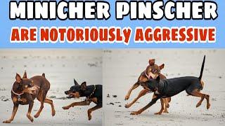 Miniature Pinscher is a small breed of dog|Miniature pinscher|Dog show|Rottweiler|Grate dane|