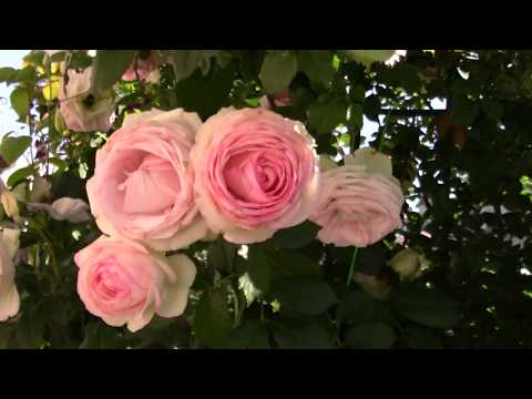 Первая волна цветения розы Pierre de Ronsard. 28.06.18
