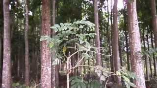 Mahogany Plantation Philippines