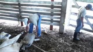 """Rancho """"El Tiburon"""": Alineando Cascos"""