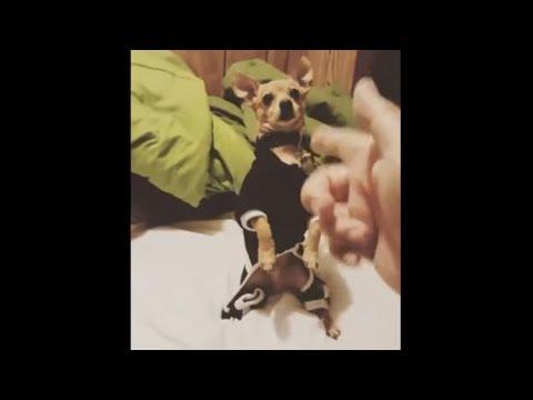 Overly dramatic dog masters 'bang bang' trick