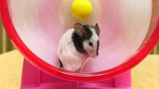 パンダマウスの毛づくろい thumbnail