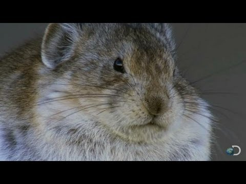 Cute Pika Devours Bird Brains | North America