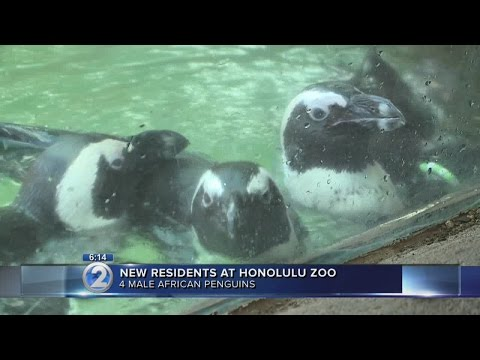 African penguins settle into new home at Honolulu Zoo