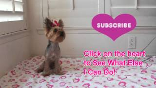 Patty Cake Yorkie Dog Chloe Polka Dot
