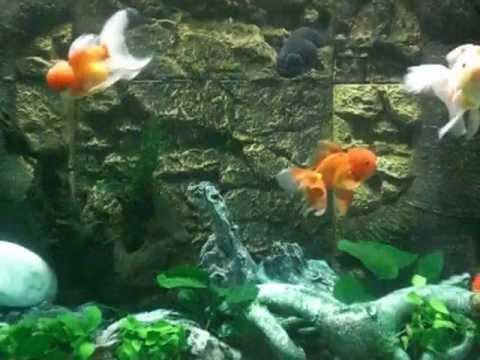 Acquario 750 lt con pesci rossi youtube for Pesci rossi acquario