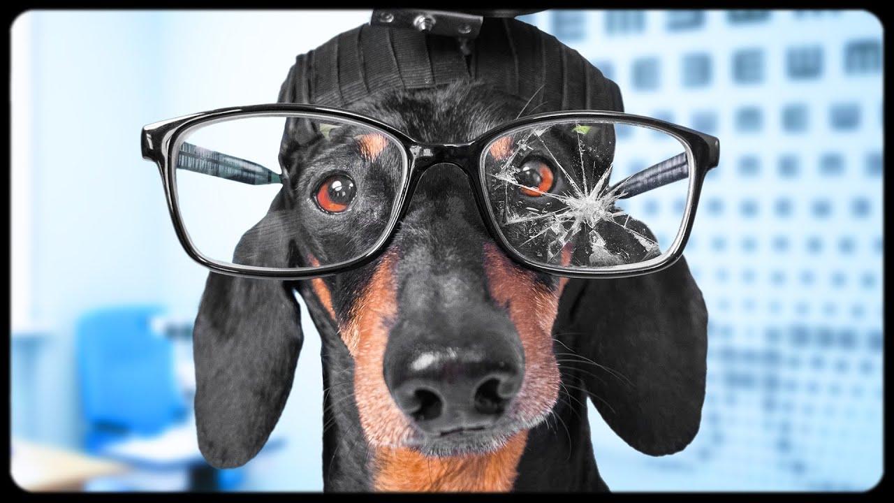 My Vision is Fine! Cute & funny dachshund dog video!