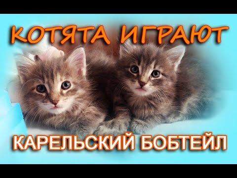 Котята породы Карельский бобтейл