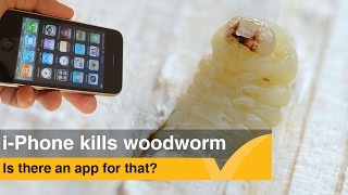 IPhone kills woodworm larvae