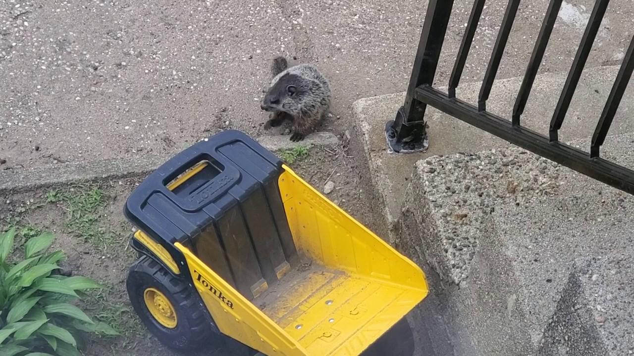 Groundhog in my Yard - Wednesday June 10, 2020 - YouTube