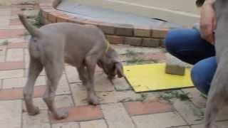 子犬詳細は→ http://passerellewan.jp/puppy/weimaraner.html.