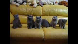 Британские котята (Одесса)