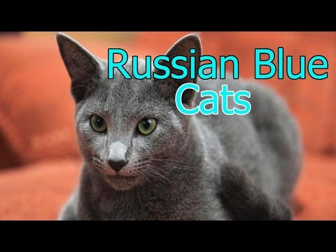 Russian Blue Cats★ AnyFuns Channel