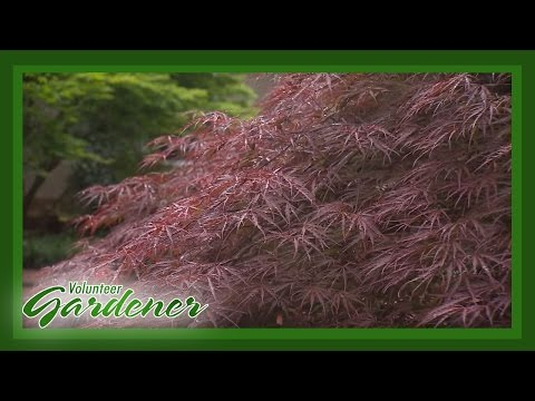 Japanese Maple Collection  Volunteer Gardener
