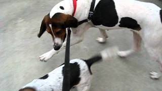 Gus, An Adoptable Walker Hound In Durham, Nc (independent Animal Rescue)